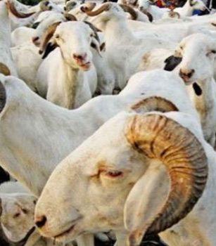 22 000 moutons convoyés vers plusieurs régions depuis Matam