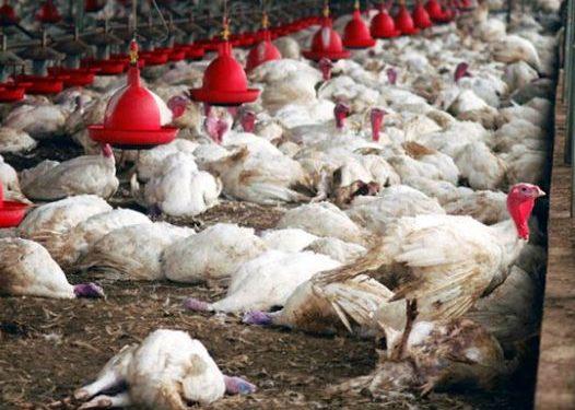 La grippe aviaire : 58.000 volailles tuées à Thiès